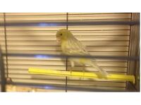 young singing canary
