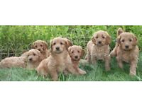 Stunning curly coated golden labradoodle pups