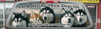 REGISTERED SIBERIAN HUSKY PUPPIES ARRI Agust early Sept