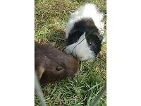 2 Male piggies