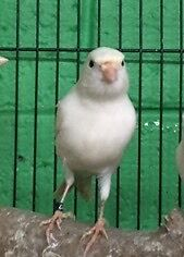 Gorgeous male singing canaries South Penrith Penrith Area Preview