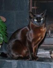 Dark Chocolate Burmese Male cat Coorparoo Brisbane South East Preview