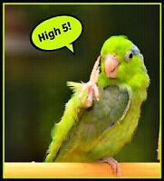 Green Pacific Parrotlet