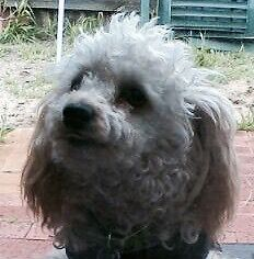 For sale White  Male miniature poodle unsterilised +accessories Manning South Perth Area Preview
