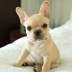 Wanted- blonde French bulldog puppy Port Macquarie Port Macquarie City Preview