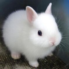 Looking :  for a white female bunny