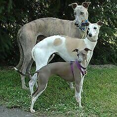 Wanted: Searching for a older female whippet or larger Italian greyhound