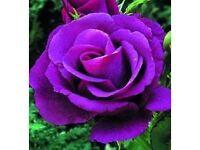 COMING UP ROSES Garden Design and Gardener