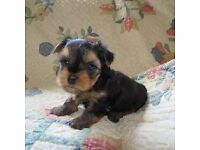 4 Yorkshire terrier puppies ( ready on 11th August ) ( £50 Deposit )