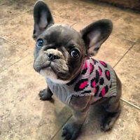 **LOOKING FOR A FRENCH BULLDOG PUPPY**