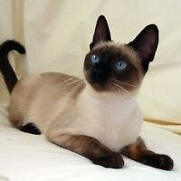 Young male Siamese or Siamese X cat on Vancouver Island