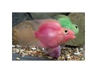 Pink Parrot Fish for sale - live tropical fish