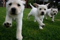 Looking for female puppy