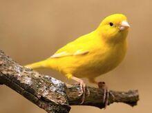 Male and female canaries Caloundra Caloundra Area Preview