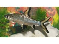 Silver shark for sale