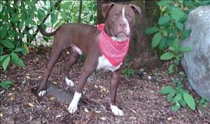 """Adult Male Dog - Pit Bull Terrier: """"Hershey"""""""