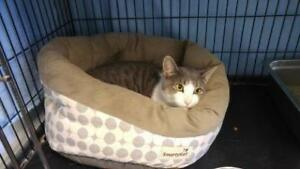 """Young Male Cat - Domestic Short Hair (Gray & White): """"Jamie"""""""