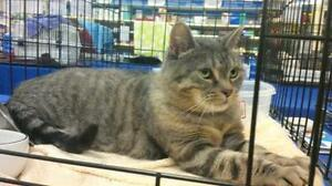 "Senior Female Cat - Domestic Short Hair: ""Jessie"""