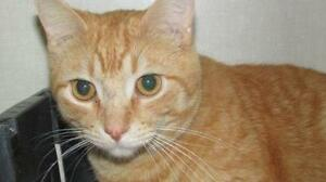 "Adult Male Cat - Tabby: ""Leo"""