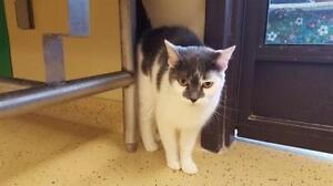"""Adult Female Cat - Domestic Short Hair - gray and white: """"Tosca"""""""