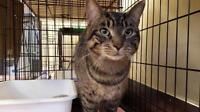 "Adult Male Cat - Domestic Short Hair - brown: ""King"""