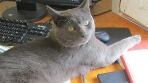 """Adult Male Cat - Domestic Short Hair: """"Sterling"""""""