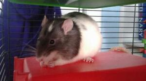 "Young Male Small & Furry - Rat: ""Milkshake"""