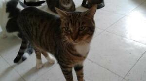 """Young Male Cat - Domestic Short Hair-Tabby - Brown: """"Chopin"""""""