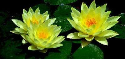 Gelbe Teich - Seerose Nymphea - Deko Dekoration für den Gartenteich  Samen Blume