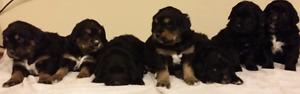 Bernese mountain dog/golden retriever
