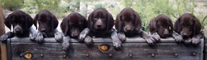 German Shorthaired Pointer and Drahthaar puppies