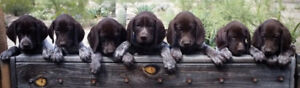 GSP Puppies - German Shorthaired Pointer