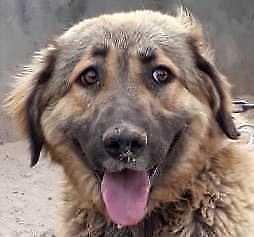 "Young Female Dog - Golden Retriever-Shepherd: ""SADIE"""