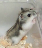 Hamster + Accessories for sale