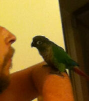 Green Cheek Conure - Burt is still missing!