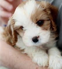 Teddy Beautiful Toy Cavoodle Puppies available now Neutral Bay North Sydney Area Preview