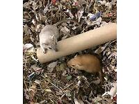 new baby gerbils