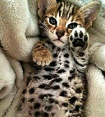 Adorable Bengal Kitten