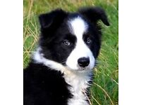 Border Collie female puppy to buy (adopt)