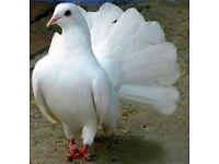 Fantail Doves For Sale