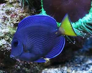 Blue tang live saltwater fish juvenile ebay for Blue saltwater fish