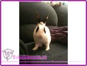 "Adult Male Rabbit - Bunny Rabbit: ""Jersey"""