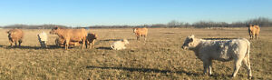 20 bred Charolais cows for sale Strathcona County Edmonton Area image 3