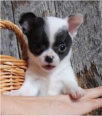 Last Chihuahua BOY! Reduced & Delivery NOW