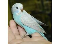 Missing blue budgie