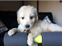 F1 PRA CLEAR GOLDENDOODLE BOY NOW RESERVED