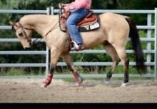 Buckskin QH Roleystone Armadale Area Preview
