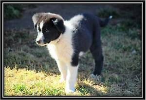 Border Collie Pups Gooloogong Cowra Area Preview