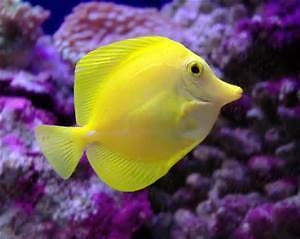Yellow Tang 8cm $88 North Willoughby Willoughby Area Preview