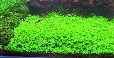 Micranthemum Monte Carlo MAT 5x3 Carpet Inches Easy Carpet Live Aquarium Plant ✅